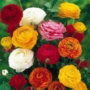 bouquet di ranuncolo