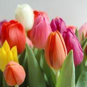 Splendidi tulipani olandesi