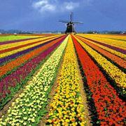 fioritura tulipani olanda