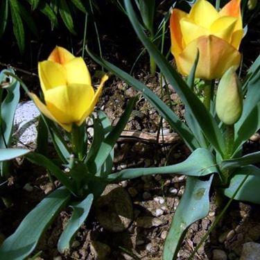 tulipa batalinii bright gem