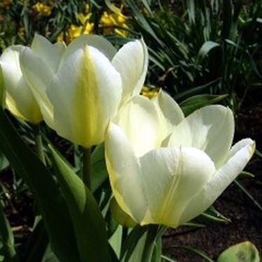 tulipa fosteriane white emperor