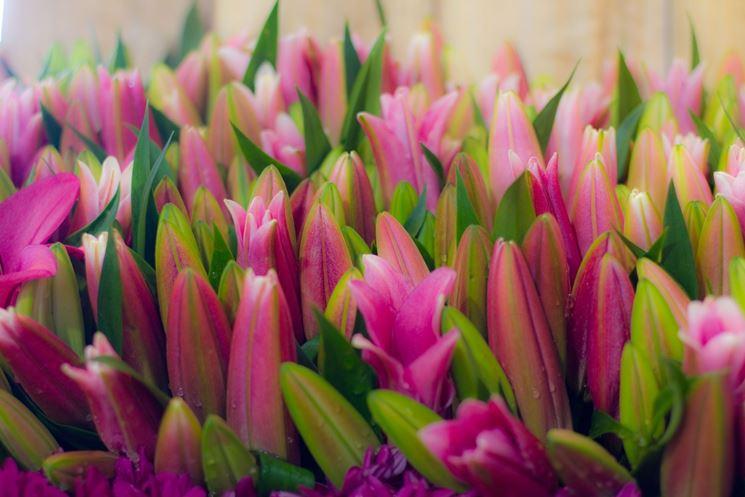 tulipani stellati