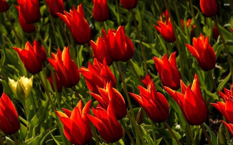 tulipani nani
