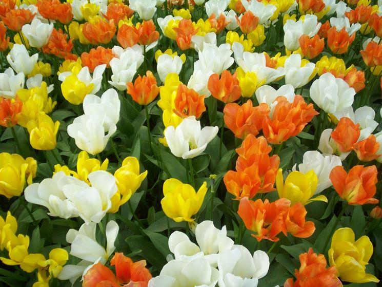 campo di tulipani 01
