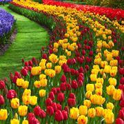 Tulipani tulipa bulbi caratteristiche tulipani - Bulbi estivi quando piantarli ...
