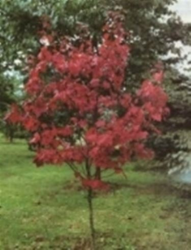 Acero rosso con foglie verdi domande e risposte giardino for Acero rosso canadese prezzo