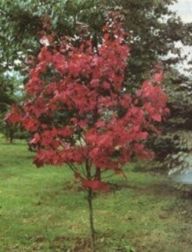 Acero rosso giapponese - Domande e risposte giardino ...