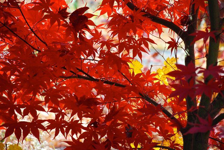 acero rosso giapponese particolare