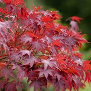 Acero rosso giapponese domande e risposte giardino for Acero rosso canadese prezzo