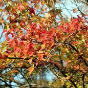 foglie acero