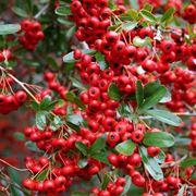 Agrifoglio foglie rosse domande e risposte giardino for Pianta con foglie rosse