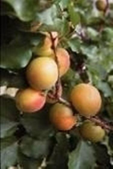Alberi da frutto domande e risposte giardino for Alberi da frutto in vaso