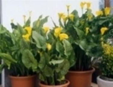 foto pianta di calla