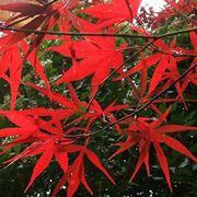 Irrigazione acero rosso in vaso domande e risposte for Acero giapponese nano