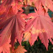 Irrigazione acero rosso in vaso domande e risposte for Acero rosso canadese prezzo
