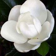 immagini magnolia