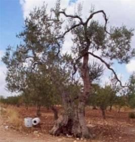 Olivo domande e risposte giardino coltivazione dell 39 olivo for Ulivo bonsai prezzo