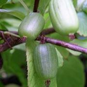 albero kiwi