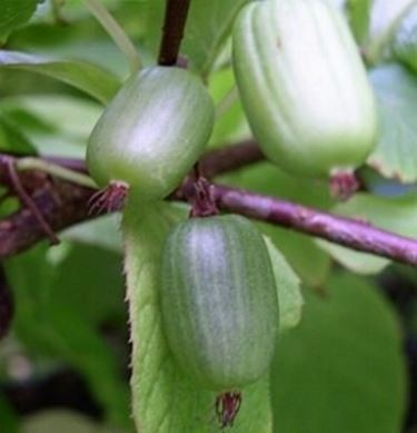 Piante kiwi domande e risposte giardino coltivare kiwi for Kiwi pianta