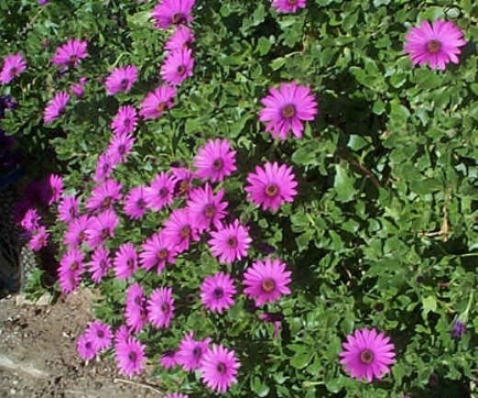 piante tappezzanti domande e risposte giardino