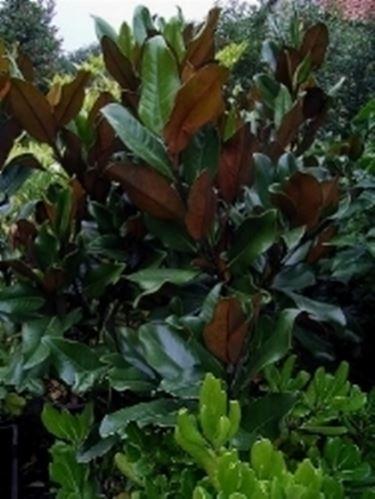 Potatura magnolia domande e risposte giardino come for Pianta kiwi prezzo