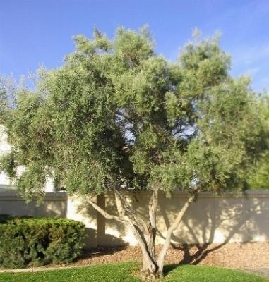 Trapianto di ulivo secolare domande e risposte giardino - Giardino con ulivo ...