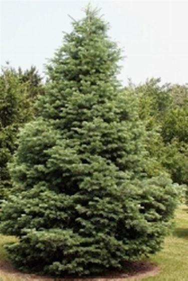 Radici delle conifere domande e risposte giardino for Abete da giardino