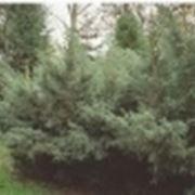 Radici delle conifere domande e risposte giardino for Conifere da giardino