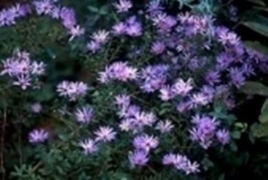 Settembrini domande e risposte giardino domanda e - Settembrini fiori ...