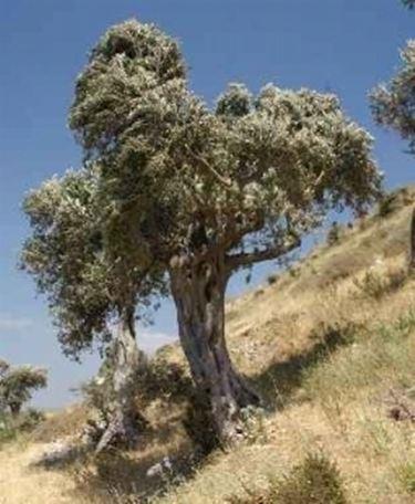 Ulivo che non produce domande e risposte giardino for Bonsai di ulivo