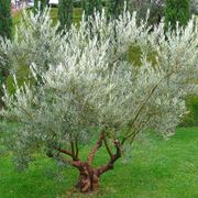 olivo foglie gialle