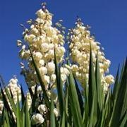 yucca fiorita
