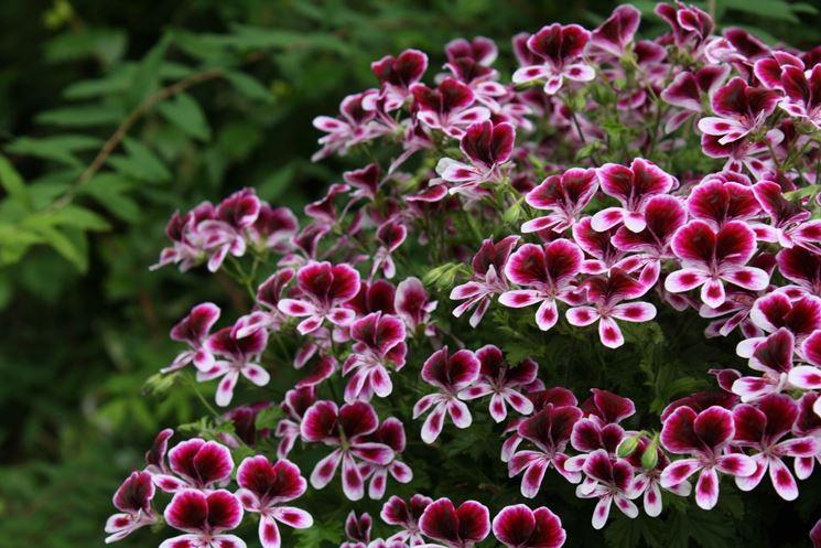 Fiori gerani geranio fiori gerani giardino for Geranio macranta