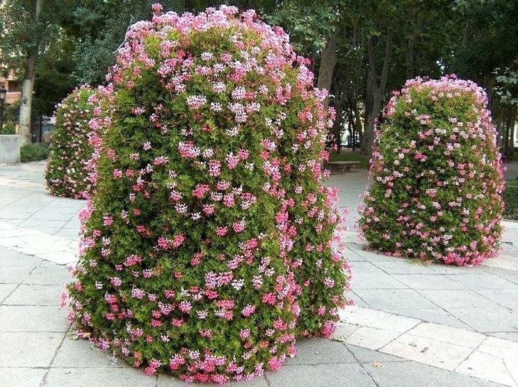 coltivazione gerani in vaso