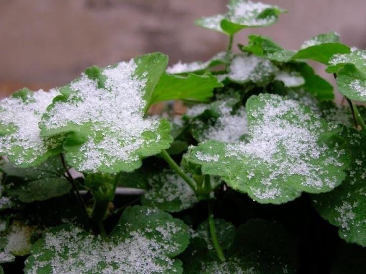 Gerani in inverno geranio come coltivare gerani in inverno - Geranio giallo ...