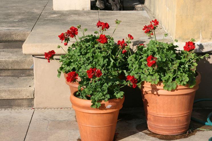 Dettaglio del fiore di geranio