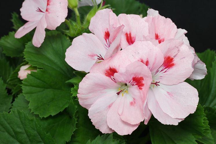 fiore geranio
