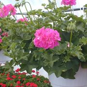 Geranio edera fiorito