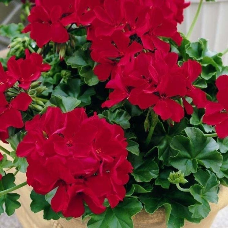 Fiore di <em>geranio edera</em> Caliente Deep Red