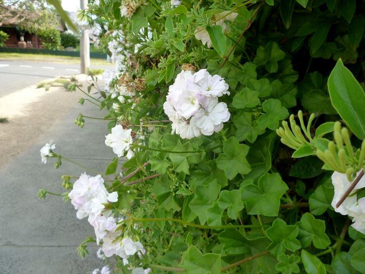 Geranio edera geranio geranio edera giardino for Case ricoperte di edera