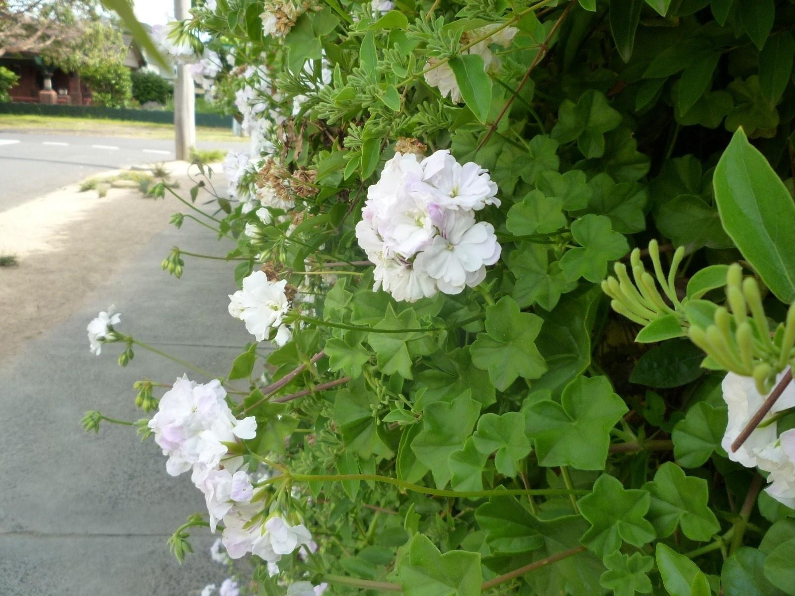 Geranio edera geranio geranio edera giardino for Talea edera
