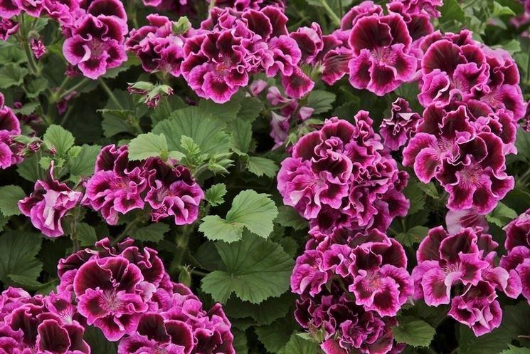 I grandi e bellissimi fiori del geranio macranta