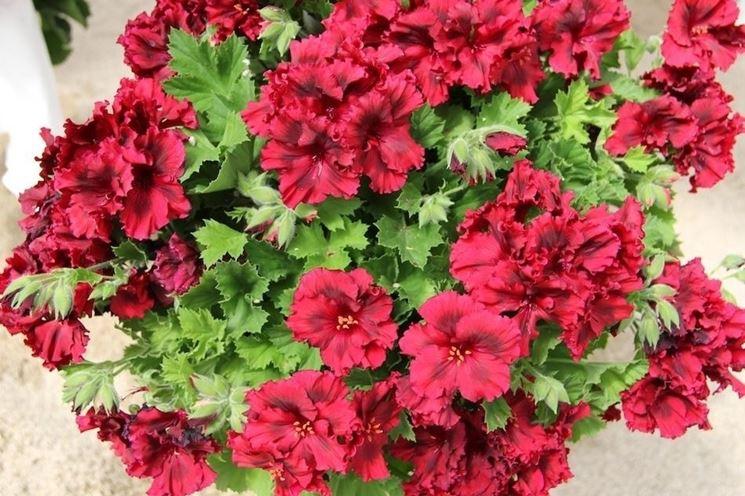 Foglie e fiori di un bellissimo geranio macranta
