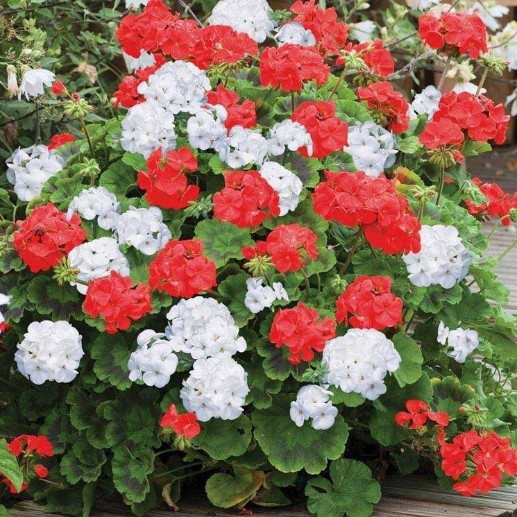 Gerani zonali fioriti