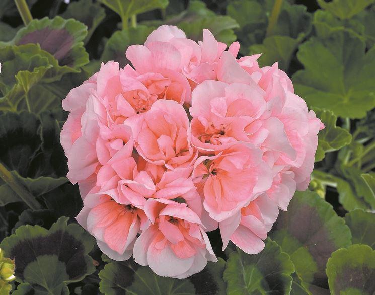 Bellissimo fiore a petali doppi di geranio zonale Frills