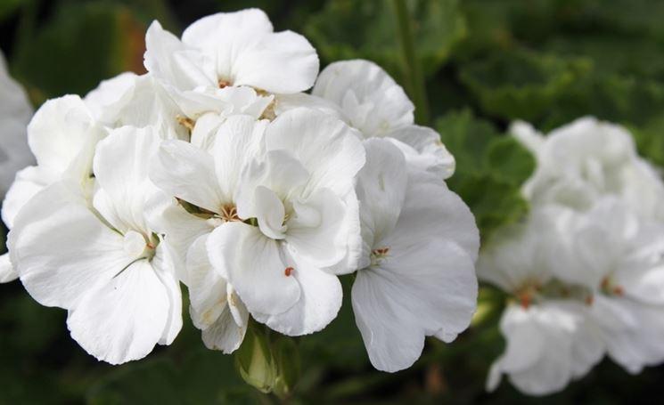 geranio zonale bianco