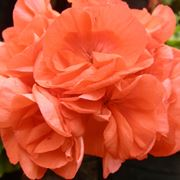 geranio fiore