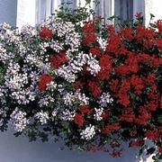 Bellissima cascata di gerani parigini fioriti