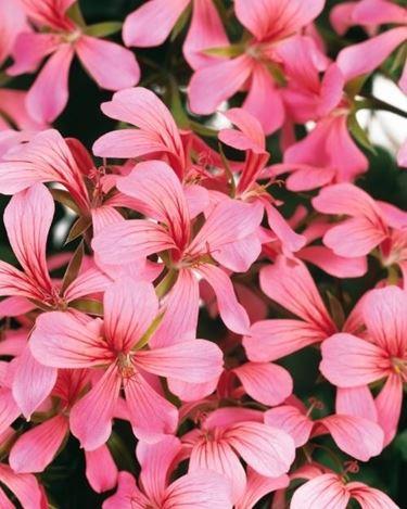 Bellissimi fiori di geranio parigino rosa
