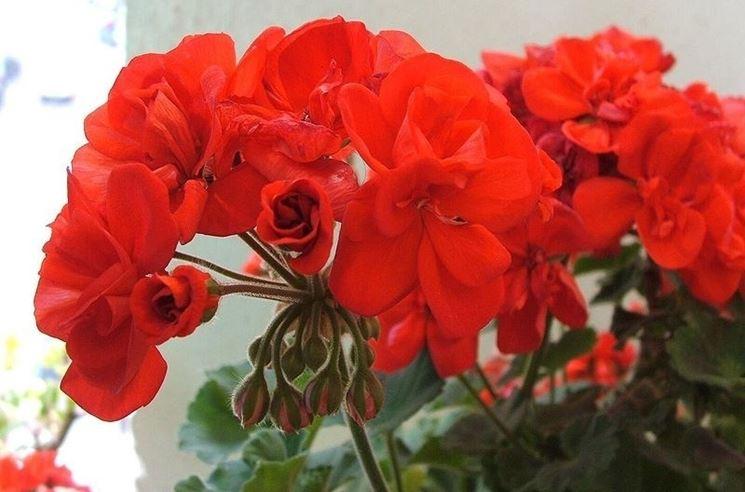 Esemplare di geranio in fiore